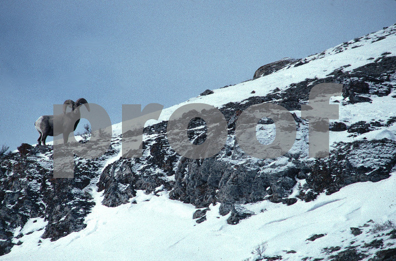 Big horn sheep near Jackson Hole WY