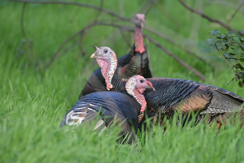 New Wild Turkeys.JPG