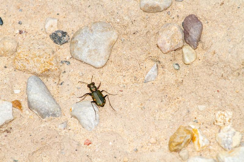 Cicindela scutellaris subspecies Lecontei Festive Tiger Beetle Sauk Prairie Recreation Area WI  IMG_0353.jpg