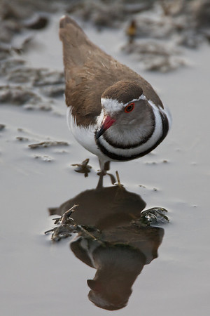 Plovers, Coursers, Pratincoles