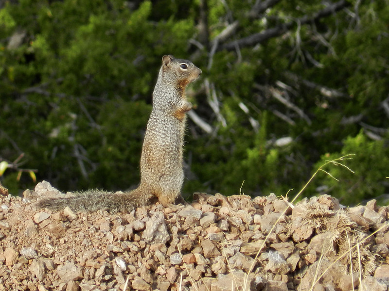 Ground Squirrell.jpg