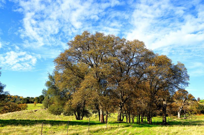 group of oaks 11-26-2012.jpg