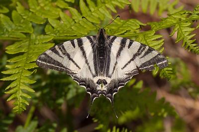 Sydeuropæisk Svalehale (Iphiclides podalirius)