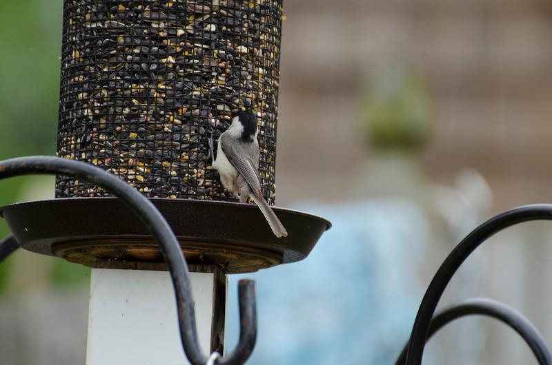 2013 Birds in the back yard_12.jpg