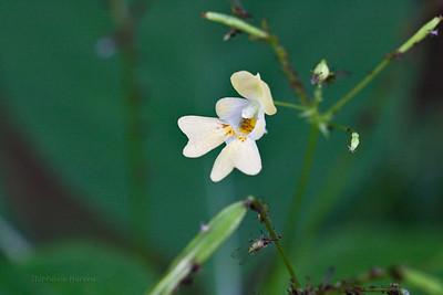 Balsamine à petites fleurs (Impatiens parviflora)