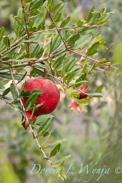 6747 Punica granatum 'Nochi Shibari' with fruit_9513.jpg