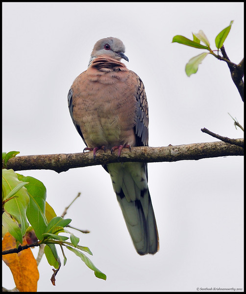 Spotted dove...