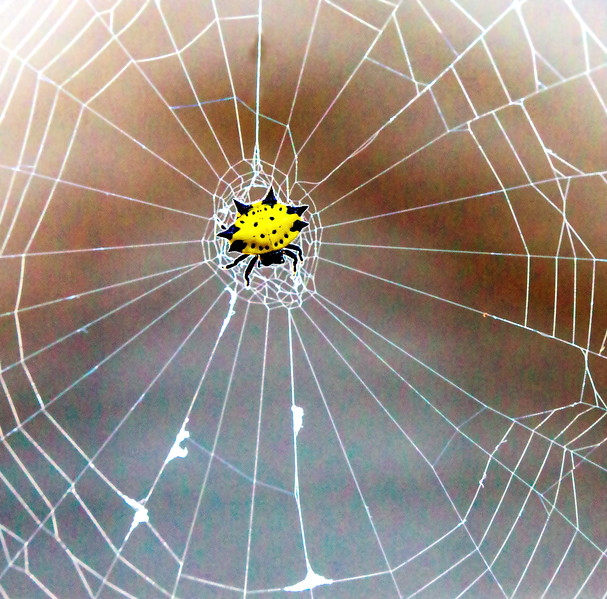 Spiny Orbweaver and her woven web