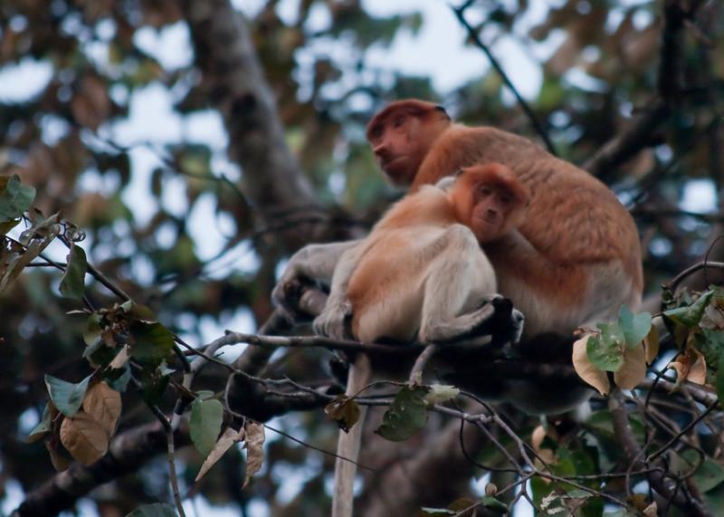 Proboscis monkies going to sleep