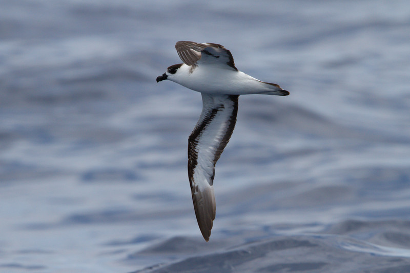 Black-capped Petrel at Gulf Stream pelagic off Hatteras, NC (06-02-2012) 002-60.jpg