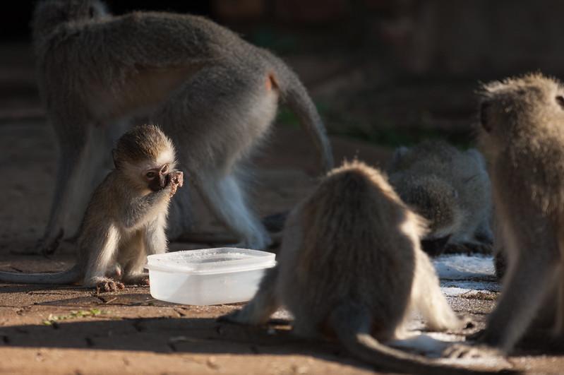 Vervet Monkey, Forever Resorts Aventura Blyde Canyon, Blyde River Canyon
