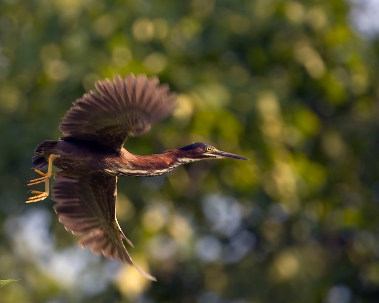Green Heron Takeoff 1.1.jpg