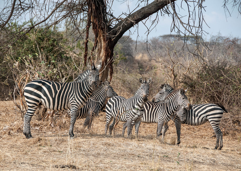 007_The Zebras had never seen such strange folk!.jpg