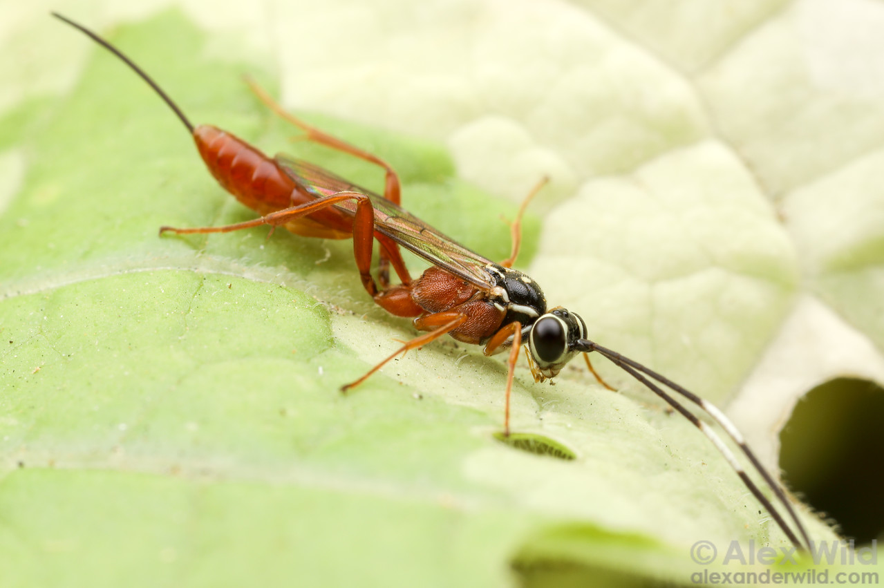 Mesostenus gracilis