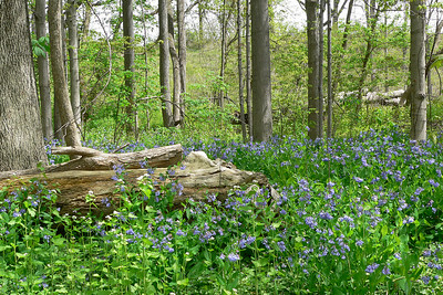 Andy's Bluebells
