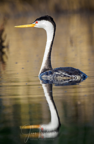 Clark's Grebe with reflection