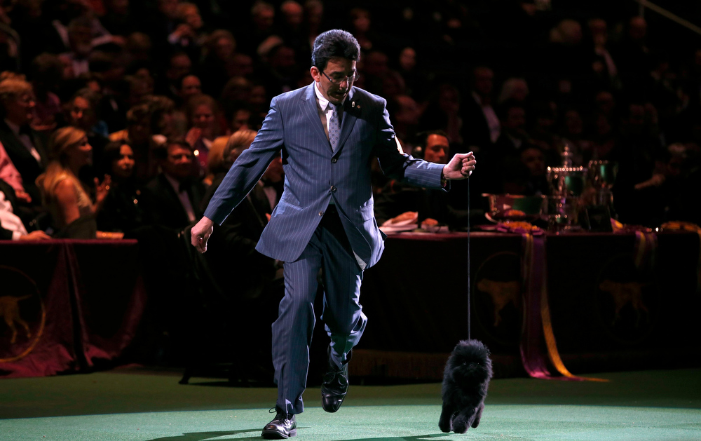 Description of . Handler Ernesto Lara runs Banana Joe, an Affenpinscher, who won the Best in Show at the 137th Westminster Kennel Club Dog Show at Madison Square Garden in New York, February 12, 2013.   REUTERS/Mike Segar