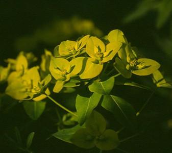 Euphorbia shillingii .jpg