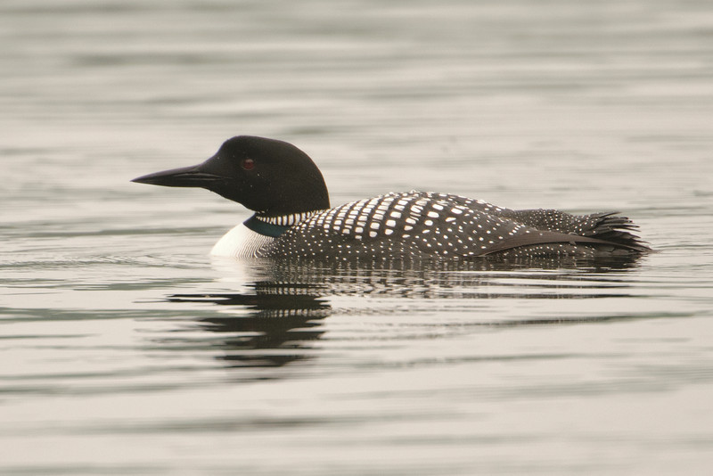 Loon - Common - Dunning Lake, MN - 10