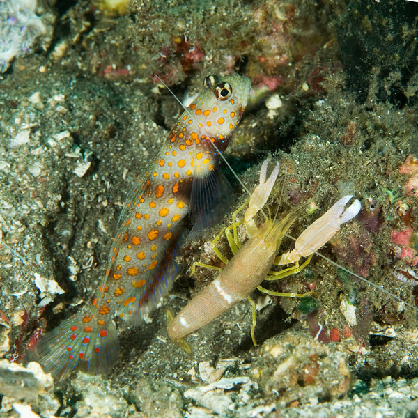 fish goby and his shrimp d.jpg