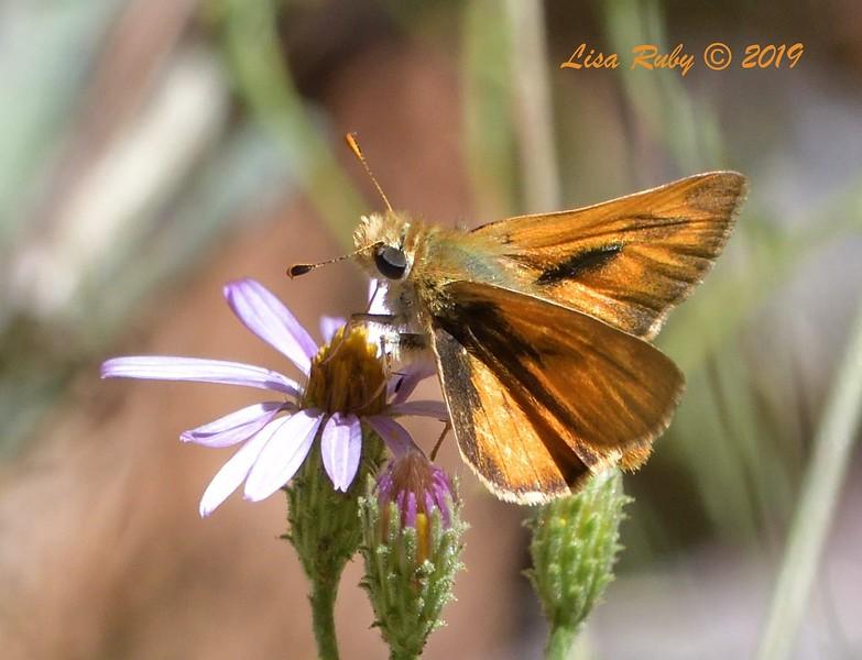 Wooded? Skipper  Butterfly  - 9/8/2019 - Agua Dulce, Mount Laguna