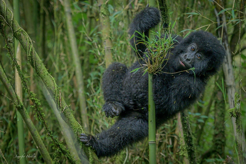 Baby Gorilla in a Tree.jpg