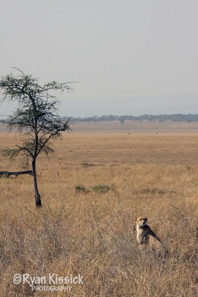Cheetah in the African savanna