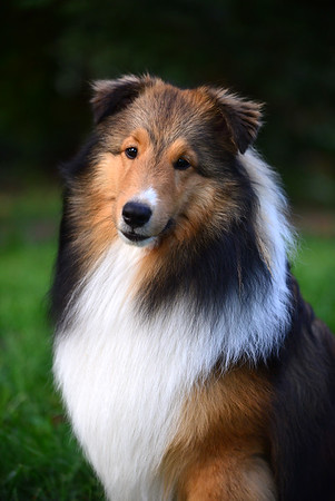 Clayton MacFluffernutter, the Amazing Sheltie!