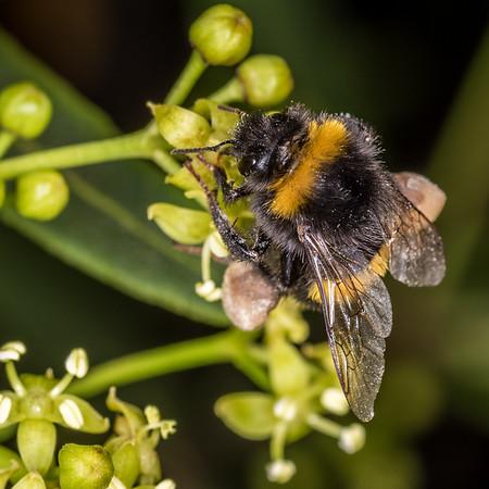 Bombus terrestris - Buff-tailed bumblebee