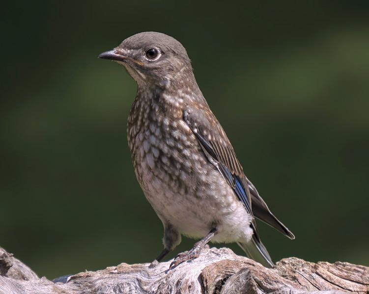sx50_bluebird_fledgling_boas_387.jpg