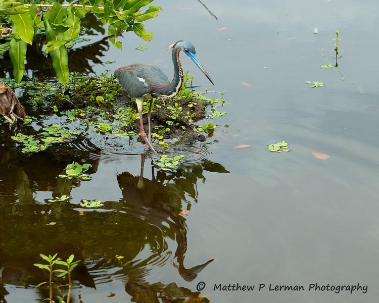 609 Tricolor Heron LR.jpg