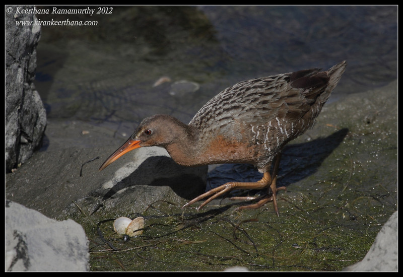 Clapper Rail, Robb Field, San Diego river, San Diego County, California, February 2012