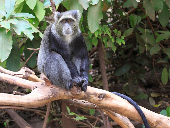 East Africa-Monkeys And Baboons