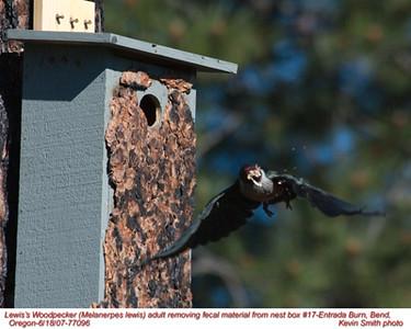 Lewis'WoodpeckerA77096.jpg