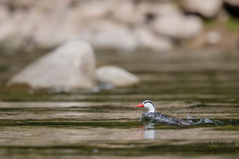 Torrent Duck - Male - Rio Urubamba, Aguas Calientes, Peru