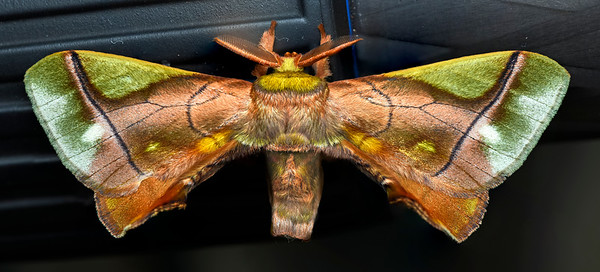 Moths of Panama
