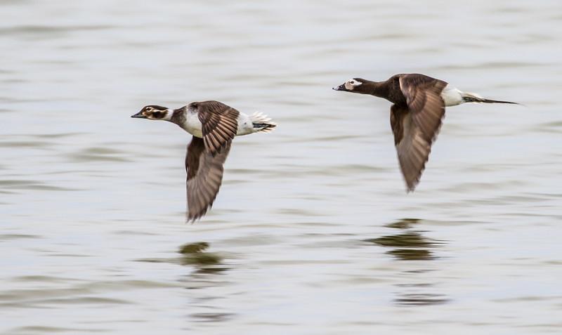 Long-tailed Duck pair Launch Road Churchill Manitoba Canada IMG_0756.jpg