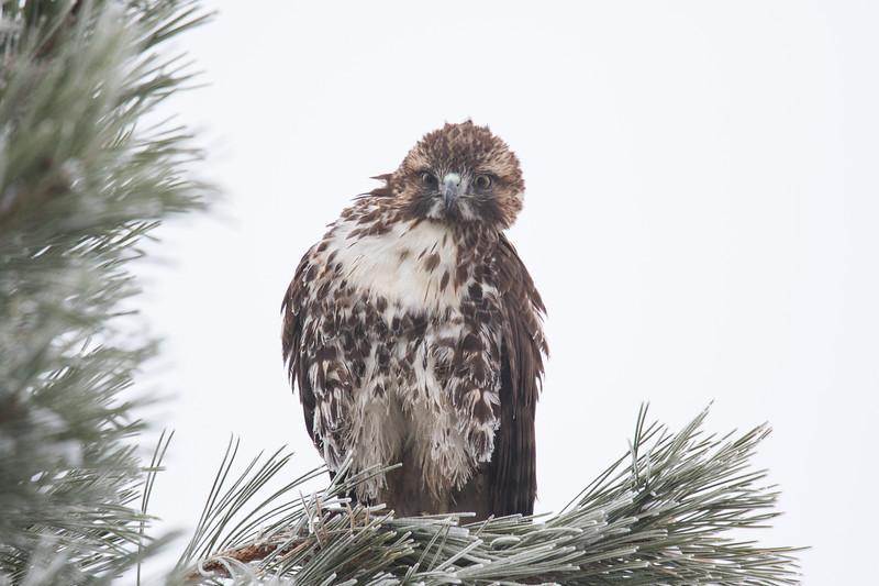 Sierra Hawks Winter 2018-1.jpg