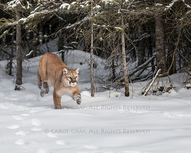 Mountain Lion in the Snow and Autumn Colors