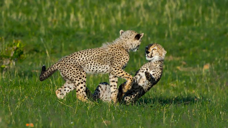Cheetahs-0224.jpg