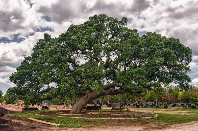 Quercus stellata - Post Oak