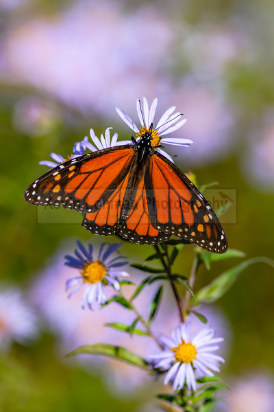 Monarch Butterfly Feeding on Aster