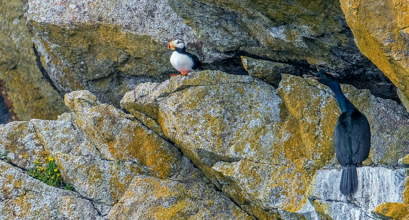Puffin and Cormorant, Kenai Fjords National Park