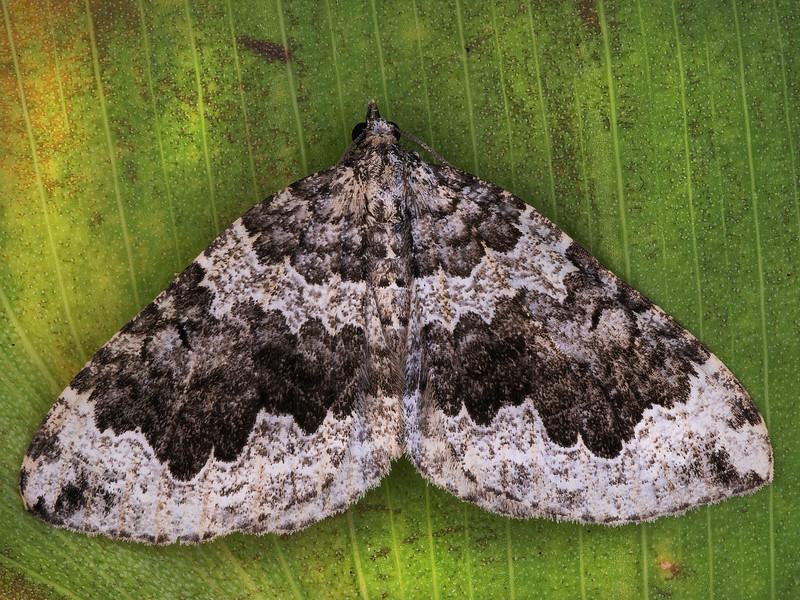 Black-banded Carpet Moth