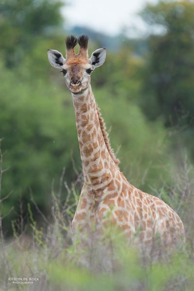 Giraffe kalf, Willem Pretorius NR, FS, SA, Dec 2014.jpg