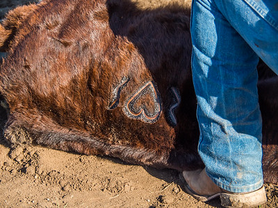 Branding at Flaming Heart Ranch
