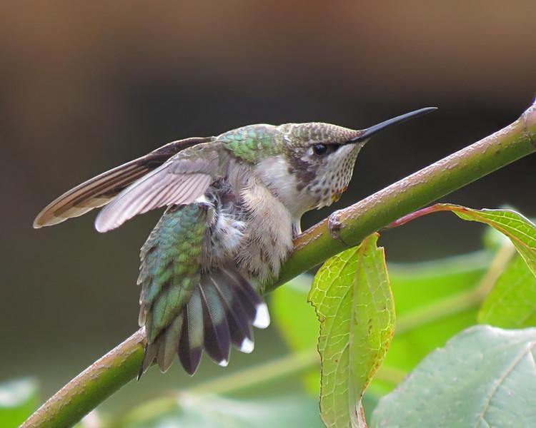 sx50_hummingbird_bit_464.jpg