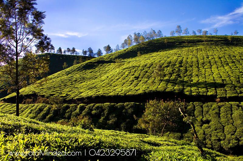 Tata Tea Estate, Munnar, India