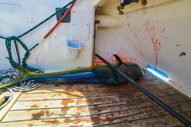 Mahi Mahi sailboat fish tacos Pacific Ocean-11.jpg
