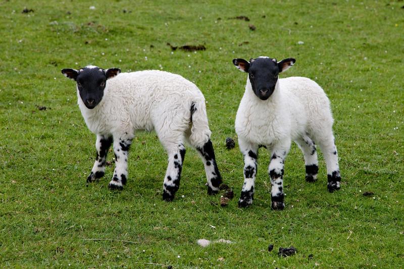 Baaa Sheep